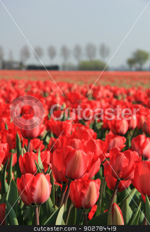 Red tulips in a field stock photo, Red tulips growing in a field and a clear blue sky by Porto Sabbia