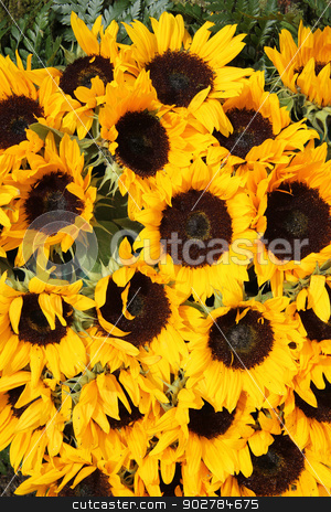 Big group of sunflowers stock photo, Big group of yellow sunflowers in full sunlight by Porto Sabbia