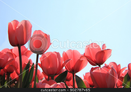 Pink tulips in backlight stock photo, Transparent pink tulips in a backlighted shot by Porto Sabbia