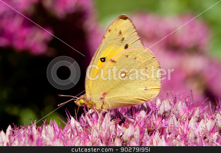 Sulpher Butterfly stock photo, A sulpher butterfly on a seedum plant. by Joe Tabb