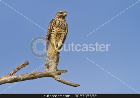 Red-shouldered Hawk (Buteo lineatus) stock photo, Immature red-shouldered hawk perched on a dead tree limb against a blue sky. by Glenn Price