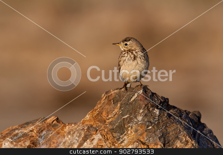 American Pipet (Anthus rubescens) stock photo, American pipet, or buff-bellied pipet,  standing on a rock. by Glenn Price