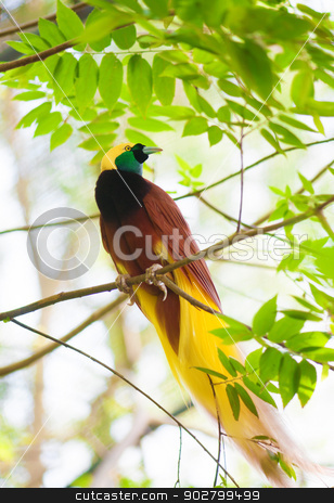 Bird of Paradise on a tree stock photo, Bird of paradise in the jungle. One Of the most exotic birds in Papua New Guinea. by szefei