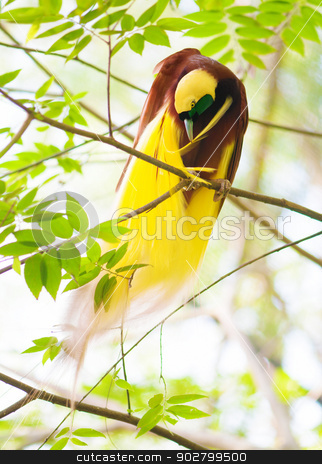 Bird of Paradise is cleaning feathers stock photo, One Of the most exotic birds in Papua New Guinea. Lesser Bird of Paradise or Paradisaea minor cleaning feathers on tree. by szefei