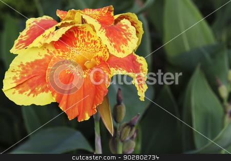 Orange Canna Flower stock photo, Orange Canna Flower closeup by Vinod Pillai