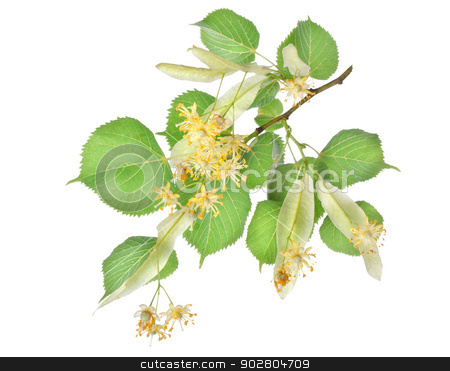 Flowers of linden-tree stock photo, Flowers of linden-tree isolated on a white background by Givaga