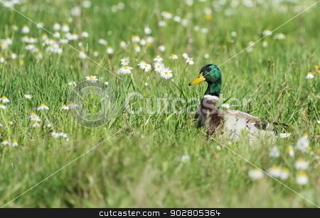 Male mallard duck and flowers stock photo, Male mallard duck walking in grassy pond between white flowers by Elenarts