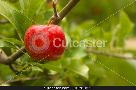 Horizontal Composition Red Apples Growing Eastern Washington  stock photo, Sweet Red Apple growing in farmer's fruit orchard by Christopher Boswell