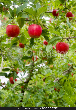 Vertical Composition Red Apples Growing Eastern Washington Fruit stock photo, Leaves and Apples fill this nuture scene by Christopher Boswell