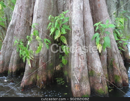Cyress Root System stock photo, Root system  for Cypress trees in swamp.  Photo taken during rainstorm by Marburg