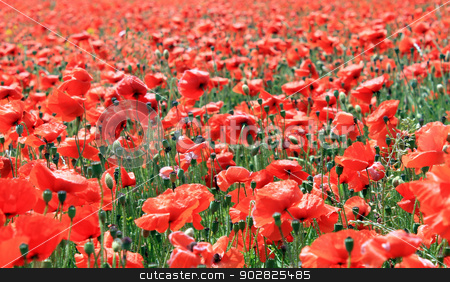 Field of red poppy flowers stock photo, Field of red poppy flowers in bloom. by Martin Crowdy