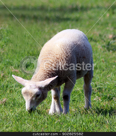 Sheep grazing on green field stock photo, Scenic view of sheep grazing on green field. by Martin Crowdy