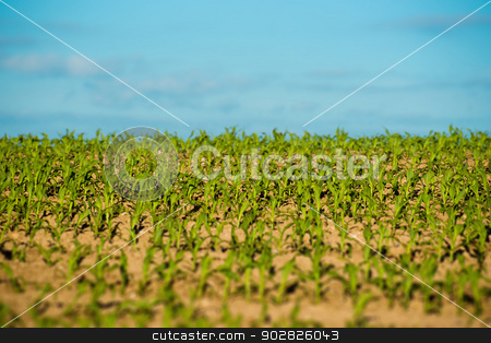 Crops field stock photo, Fresh green crops at a countryside field by Kasper Nymann