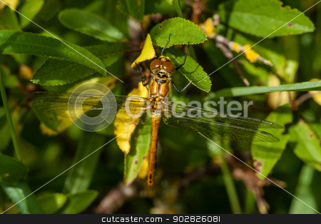 Yellow damselfly stock photo, Yellow damselfly sitting on a green leaf by Kasper Nymann