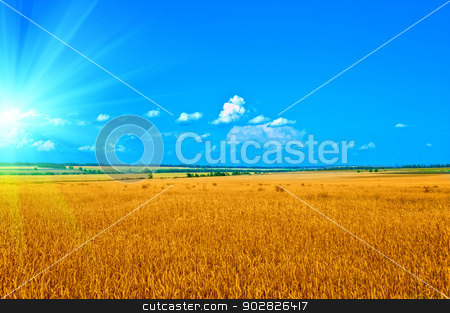 wheat field stock photo, ripening ears of wheat field by olinchuk