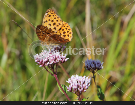 Monarch butterfly on red  flower stock photo, Monarch butterfly on red  flower by aarrows
