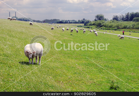 Sheep on bank stock photo, Sheep standing on a bank at the Elbe in Wedel, near Hamburg. A lonely jogger is on his way. by Nils Prause