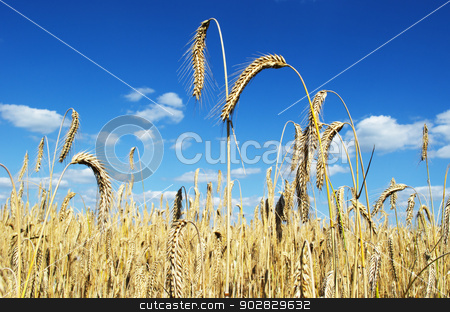 Field of rye stock photo, A field of ripe rye on a sunny summer day. by Nils Prause