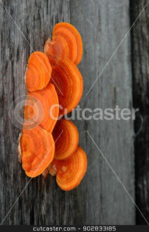 mushrooms stock photo, orange mushrooms on the wood by antonihalim