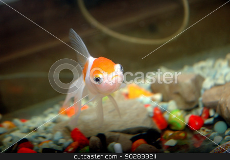 goldfish  stock photo, goldfish in aquarium by antonihalim