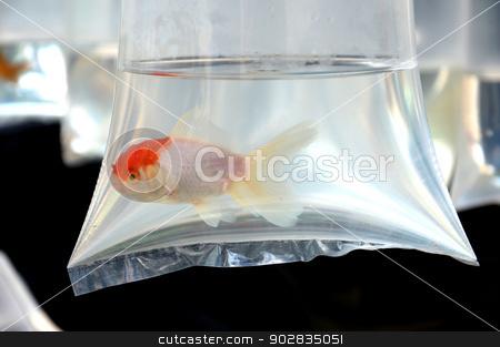 goldfish  stock photo, goldfish in plastic container by antonihalim