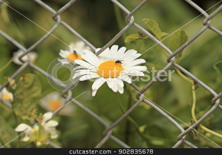 wild daisy growing through wire fence stock photo, wild daisy growing through wire fence with a fly on it by coroiu octavian