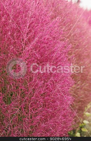 astilba stock photo, Downy, pink decorative bush of astilba visions by Iuliia   Malivanchuk