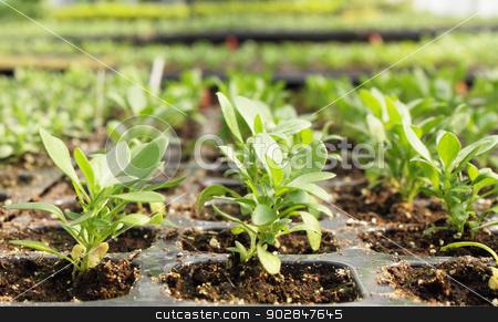 seedling stock photo, seedlings of petunia is grown in the greenhouse by Iuliia   Malivanchuk