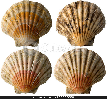 Four Scallop Shells - See Pectinidae - 1 stock photo, Set of four scallop seashells isolated on white background by catalby