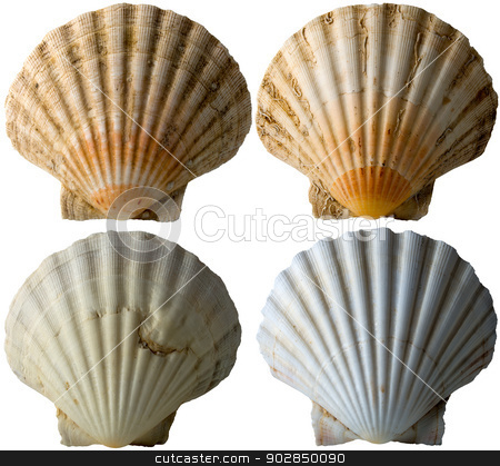 Four Scallop Shells - See Pectinidae - 3 stock photo, Set of four scallop seashells isolated on white background by catalby