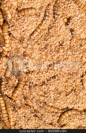 Mealworms stock photo, Many ugly worms as background - close up by Nneirda