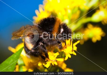 Bumblebee stock photo, Macro photo of nice Bumblebee working on Flower by Alexey Popov