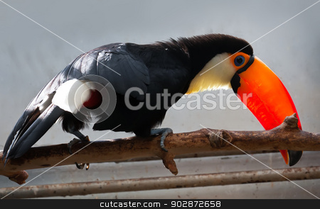Toucan stock photo, Cute exotic toucan with huge beak sitting on small stick by Alexey Popov