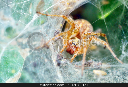 Araneus diadematus stock photo, macro shoot of Araneus diadematus  by Iordache Magdalena