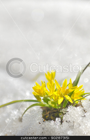 yellow spring flowers  stock photo, yellow spring flowers macro coming from ice by Iordache Magdalena