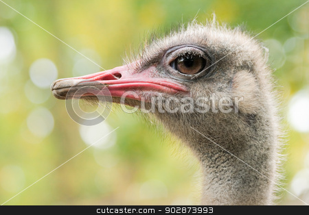 Ostrich or Struthio camelus stock photo, Ostrich or Struthio camelus with autumn colors in background by Colette Planken-Kooij