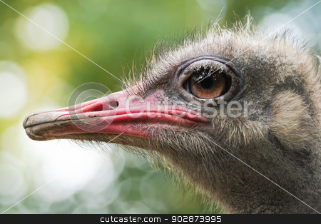 Ostrich or Struthio camelus head in side angle view stock photo, Ostrich or Struthio camelus head in side angle view with autumn colors in background by Colette Planken-Kooij