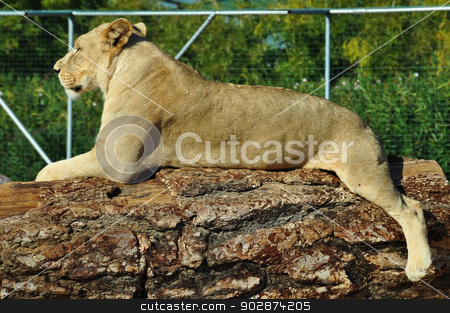 african lioness stock photo, African lioness resting on tree trunk. Wild animal. by sirylok
