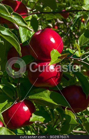 Courtland Apples stock photo, Courtland Apples fresh on the tree by Ed Corey