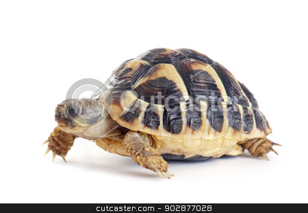 Tortoise stock photo, Testudo hermanni tortoiseon a white isolated background by Bonzami Emmanuelle