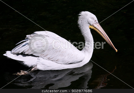 Pelican stock photo, Beautiufl close-up photo of cute white pelican by Alexey Popov