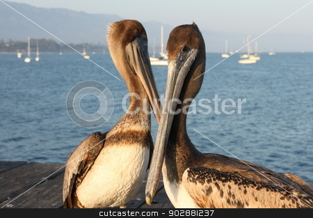 California Pelicans stock photo, Two California pelicans on the Santa Barbara pier. by Henrik Lehnerer
