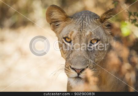 Lion stock photo, Lion, Samburu National Reserve, Northern Kenya, East Africa by mdphot