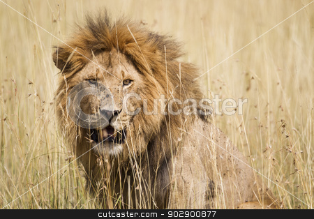 Male Lion stock photo, Impressive male lion in high grass, Serengeti National Park, Tanzania, Southeast Africa by mdphot
