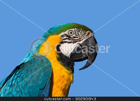 Macaw Pofile stock photo, Wild Macraw with Blue and Yellow Wings with Blue Background by Ken Wolter