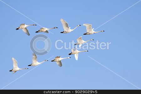 Tundra Swans in Flight stock photo, Tundra Swans flying in formation on a clear winter day. by Delmas Lehman