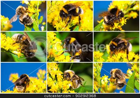 Bumblebee stock photo, Macro photos of nice Bumblebee working on Flower by Alexey Popov