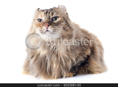 american curl cat stock photo, american curl cat in front of white background by Bonzami Emmanuelle