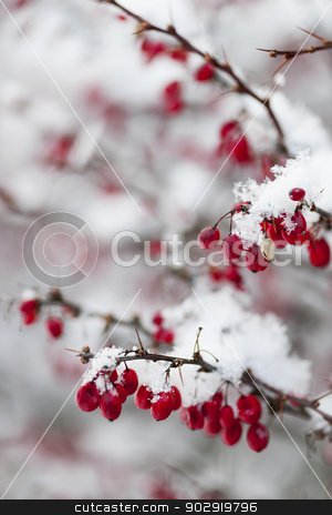 Red winter berries under snow stock photo, Snowy red barberry berries closeup in winter by Elena Elisseeva