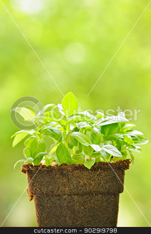 Green sweet basil plant stock photo, Young sweet basil plants in peat pot by Elena Elisseeva